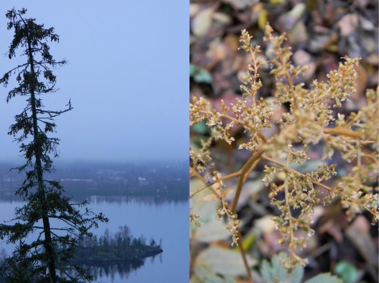 Jaloangervo syksyllä