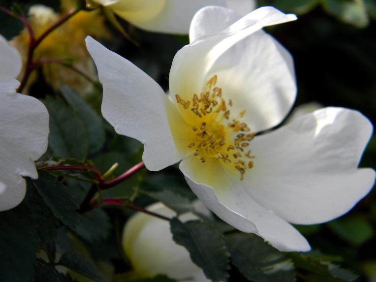 Ruusu Linnanmäki