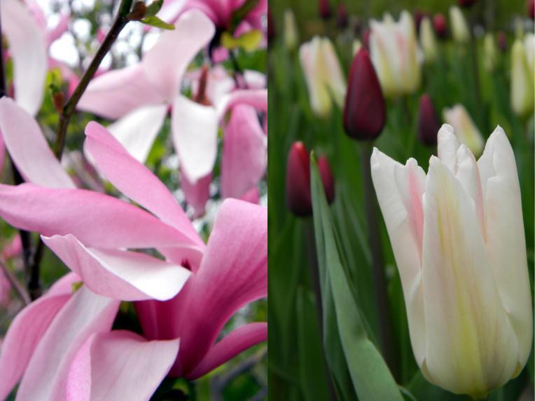 Magnolia ja tulppaanit Hatanpää