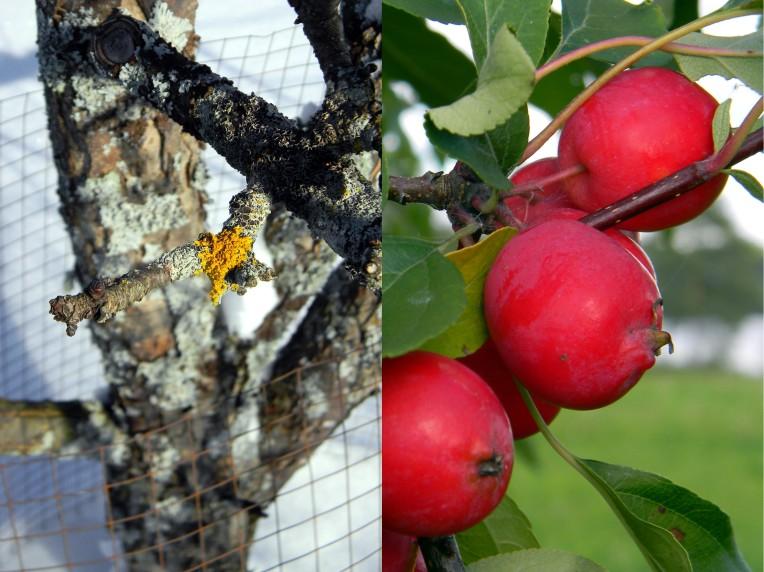 Omenapuu talvella ja kesällä