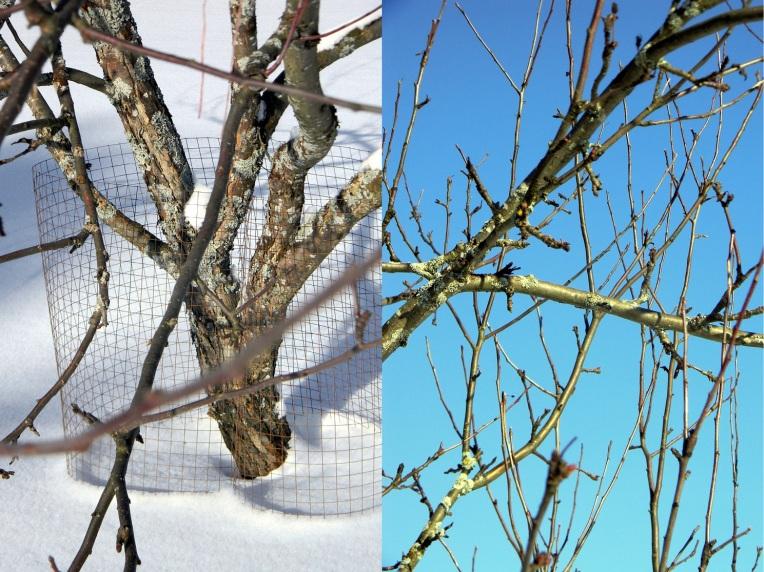 Omenapuun leikkaaminen 1