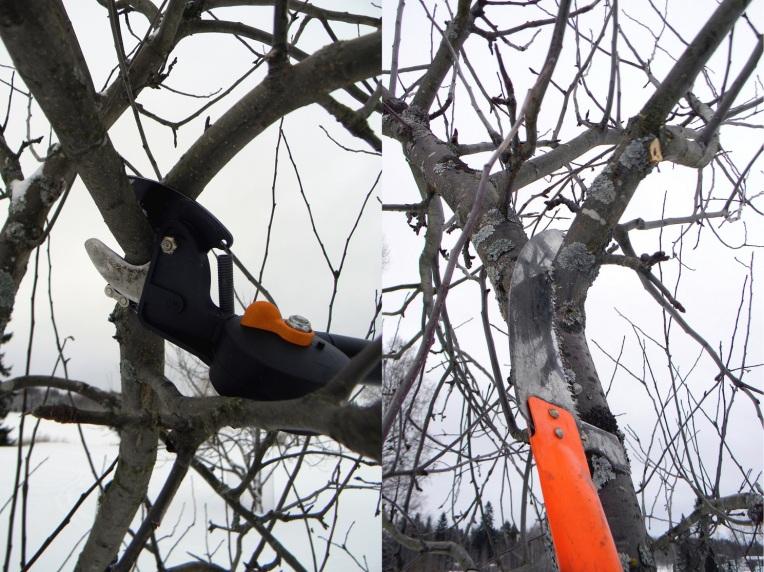 Omenapuun leikkaaminen 2