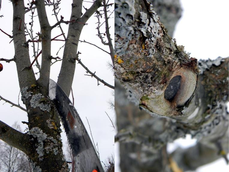 Omenapuun leikkaaminen 5