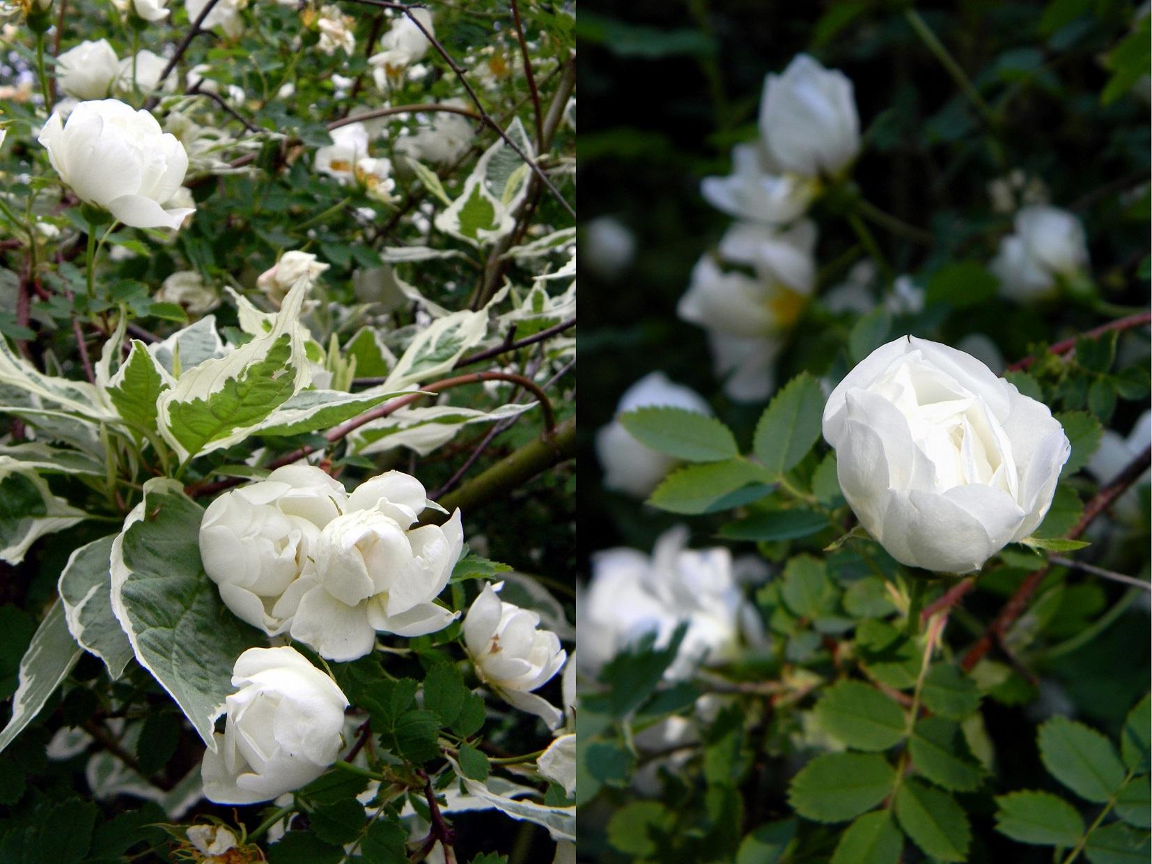 Rosa Spinosissima 'Plena', Cornus Alba 'Elegantissima'
