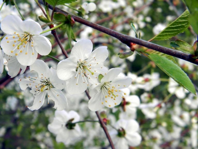 Kukkiva luumupuu