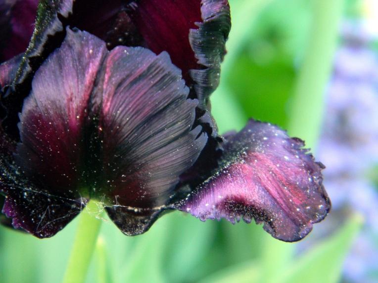 5a-tulppaanit
