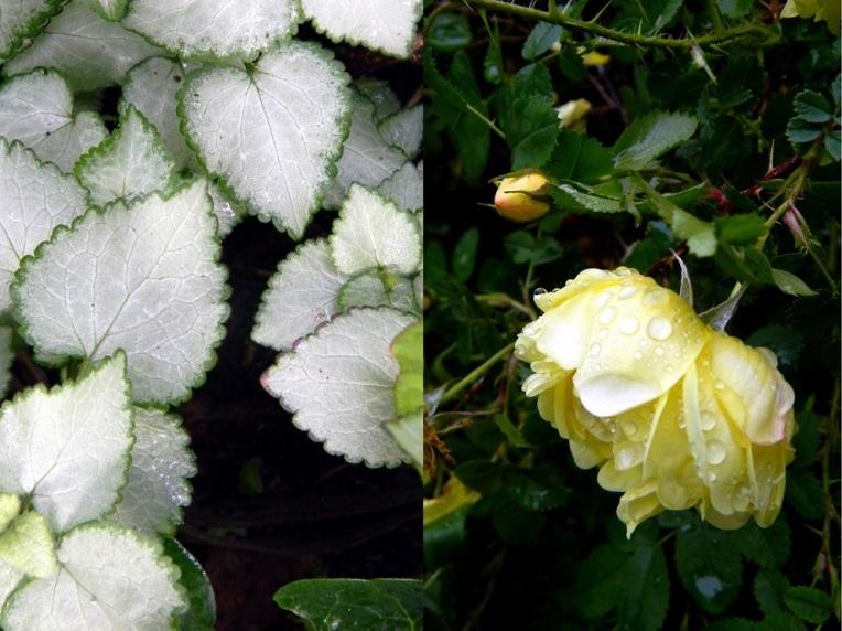 Harisoninruusu Rosa Harisonii -ryhmä