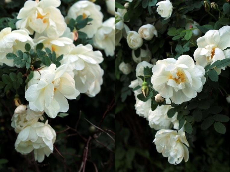 0 Rosa Spinosissima Plena