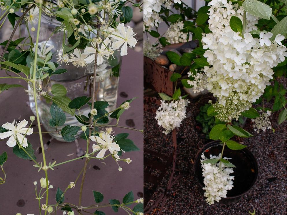 Syyshortensia Hydrangea paniculata