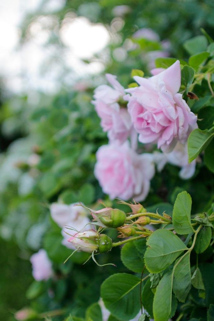 Ruusu Minette